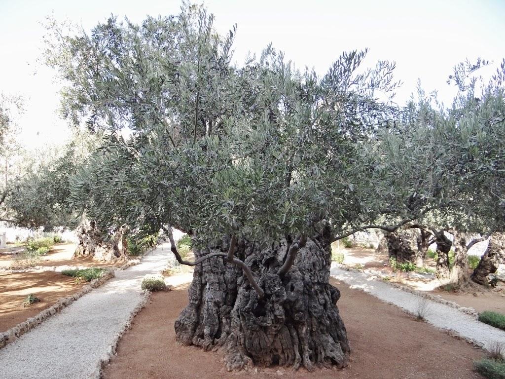 Ogród Oliwny - Jerozolima