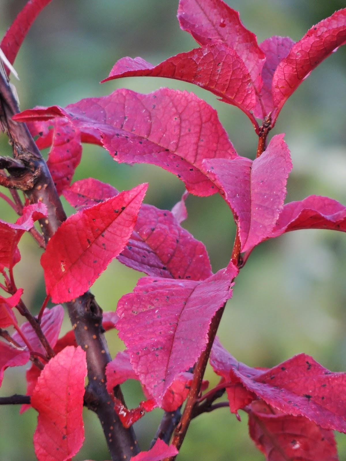 buske med röda blad på hösten