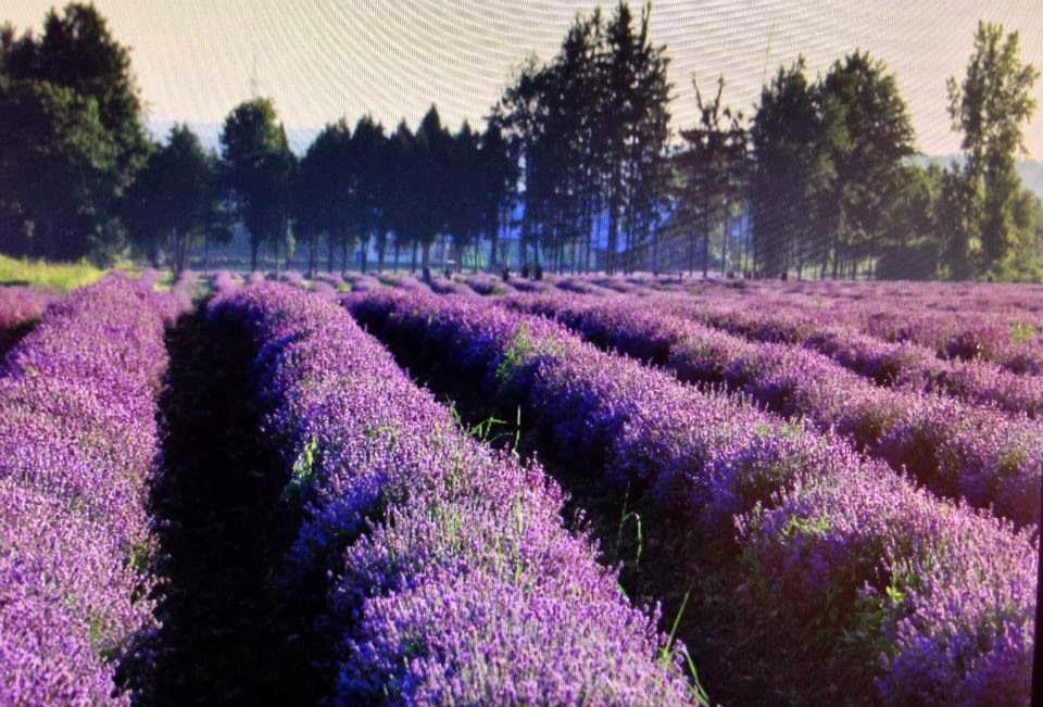 a trip to a lavender farm turistang barat