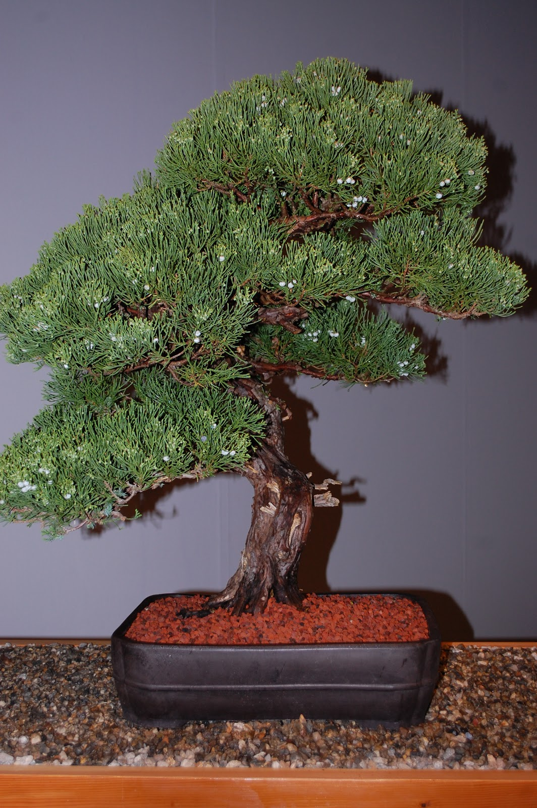 Sprouts Bonsai