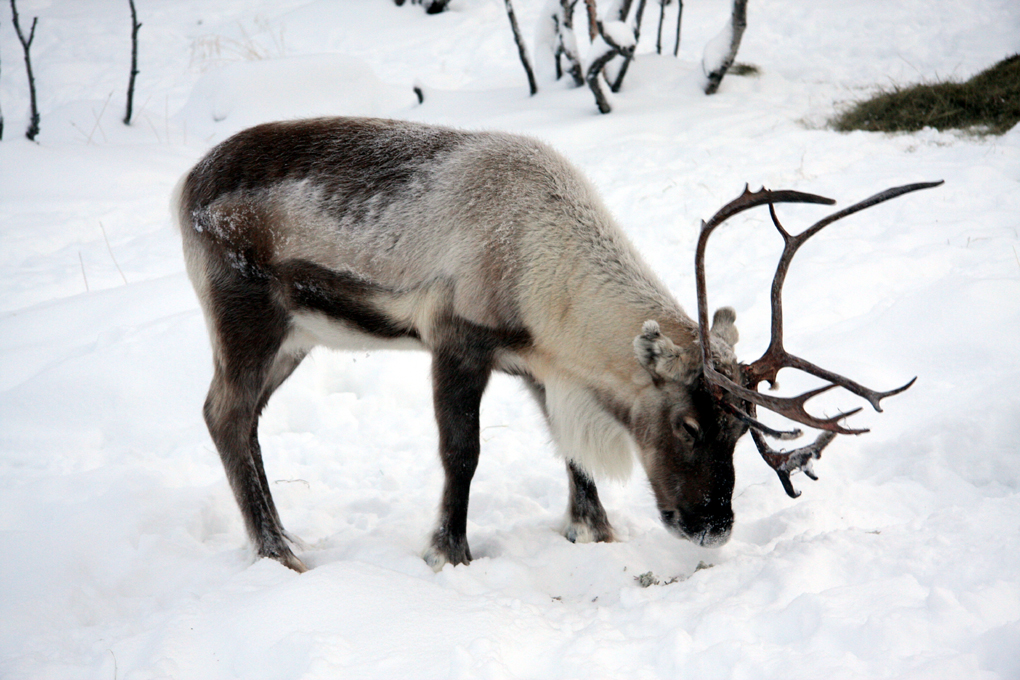 Real Reindeers In Snow Images & Pictures - Becuo