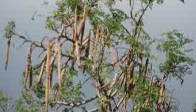 """Pohon Kelor, """"Pohon Kehidupan"""" Dengan Sejuta Manfaat Kesehatan"""