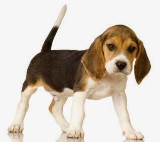 Ciri Umum Anjing Beagle.