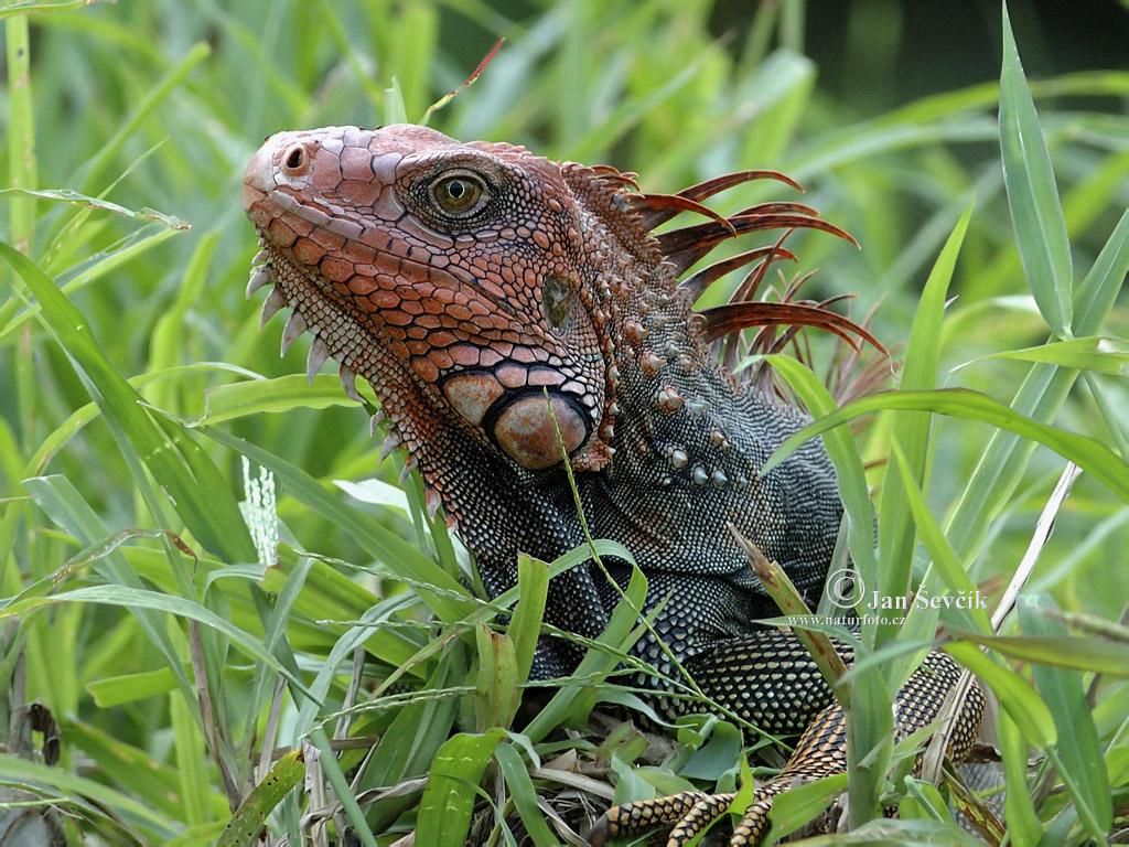 http://4.bp.blogspot.com/-3Ph8vFckJK0/T-bqiKOQZvI/AAAAAAAACvo/kiawj9rWHYU/s1600/iguana+picture.jpg