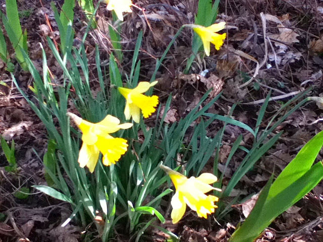 Daffodils are here a month early~