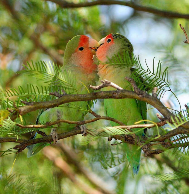 Talking Parrot Couple