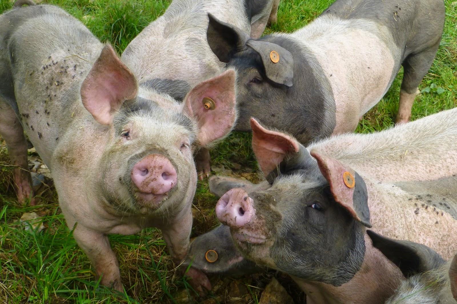 Schweinehaufen