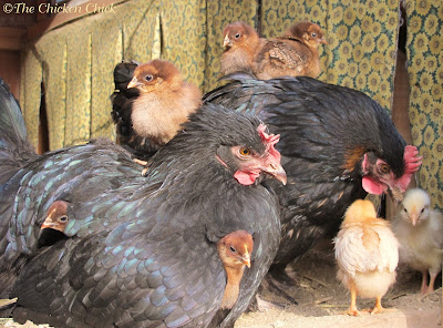 It is not uncommon for two broodies to sit on one clutch of eggs or for two broodies to raise chicks together.