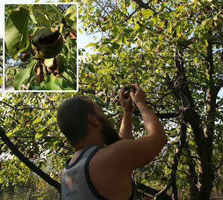 Walnut harvest happening