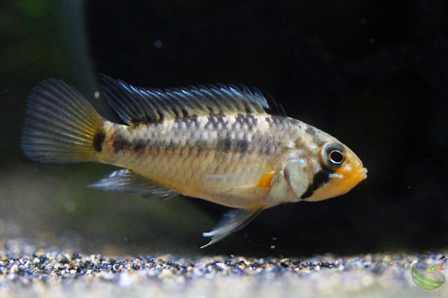 Apistogramma sp.Tame F1