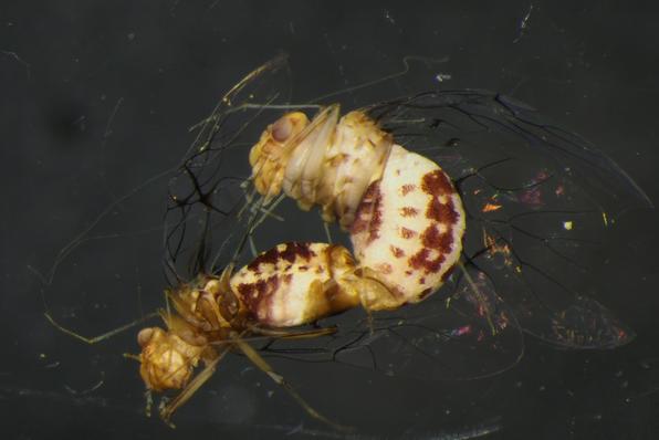 centipedes in my vagina wikipedia