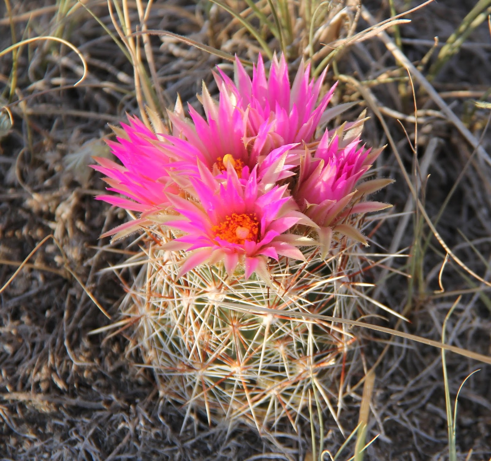 Viewing gallery for pink cactus flower