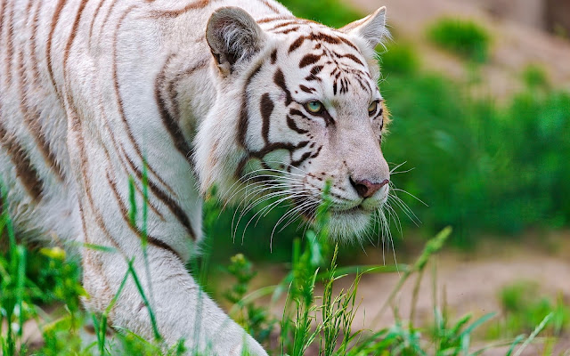 Fotos de Tigres Guepardos Blancos - Imagenes de Animales Salvajes