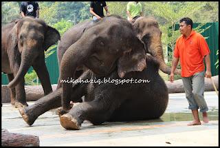 kuala gandah elephant