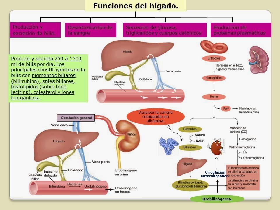 ÓRGANOS ACCESORIOS DEL APARATO DIGESTIVO. | Blog de Fisiología Médica