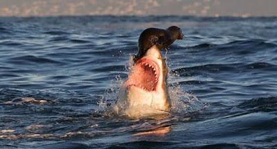 Hiu vs Anak Singa Laut