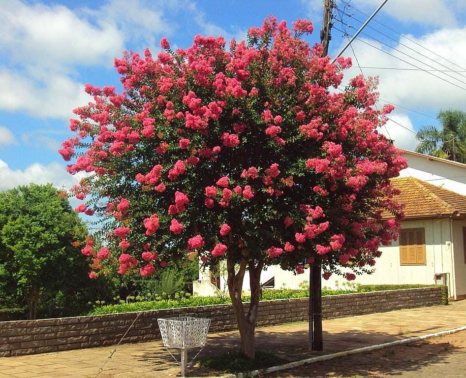 Plantas y flores plantas especies rbol de j piter for Arboles con flores para jardin