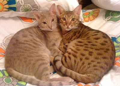 Foto Kucing Ocicat