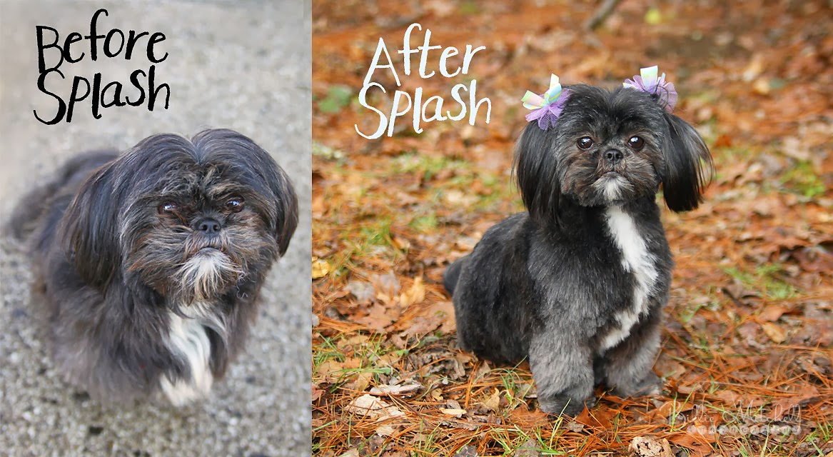 Billie mitchell photography splash grooming salon hendersonville and now for the gizzy before and after solutioingenieria Images