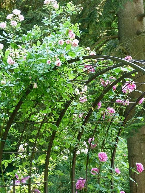 Les pins noirs duos de roses sous la pluie - Arche pour rosier grimpant ...