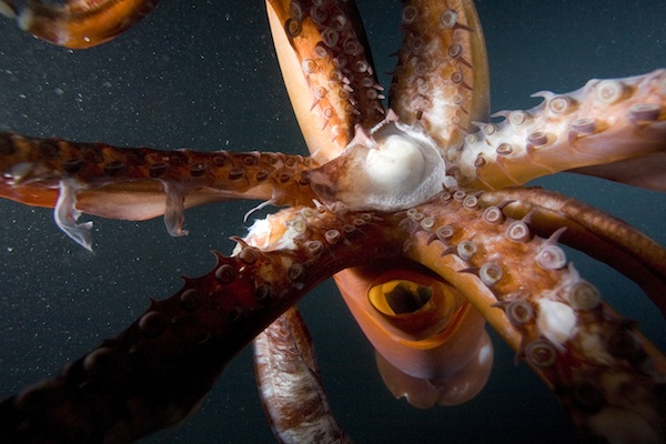 Beak and Tentacles of Humboldt Squid