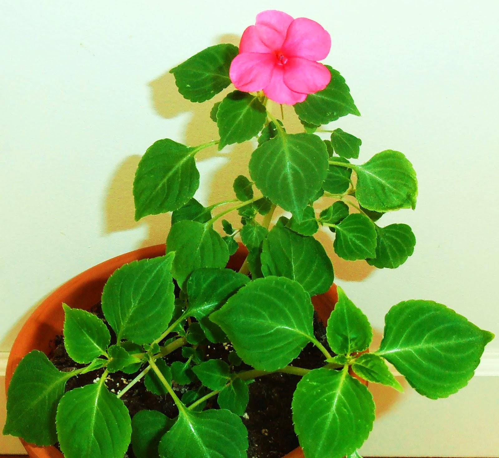 La ventana de javiruli plantas de interior 24 alegr a miramelindo impatiens walleriana - Alegria planta cuidados ...