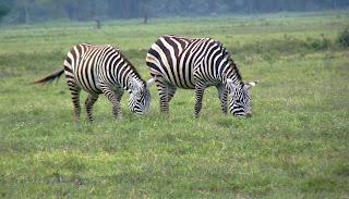 Wall Art of Pair of Zebra