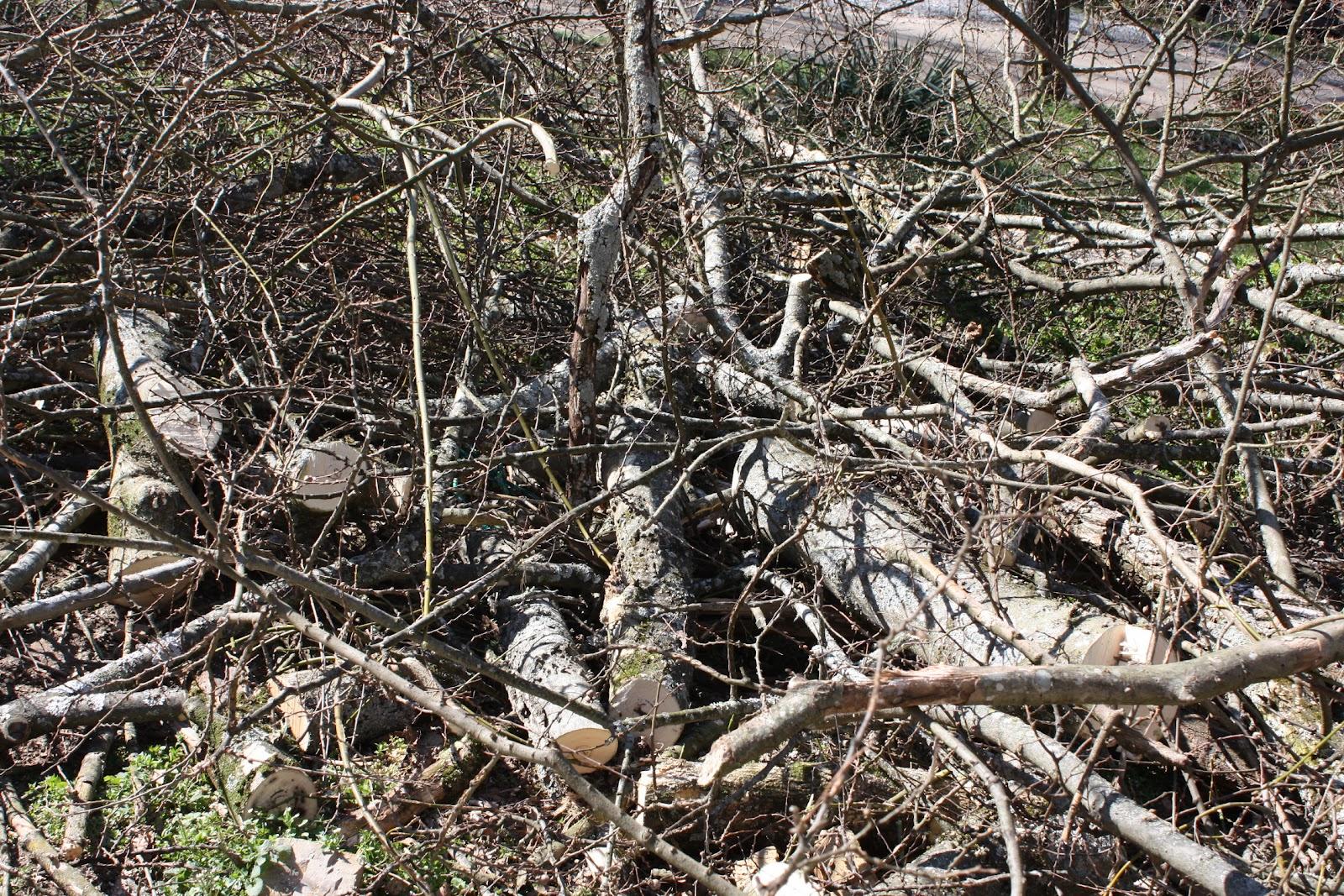 how to cut down locust tree