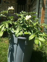 Flowering Trash Can Potatoes