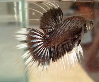 gambar ikan cupang hitam