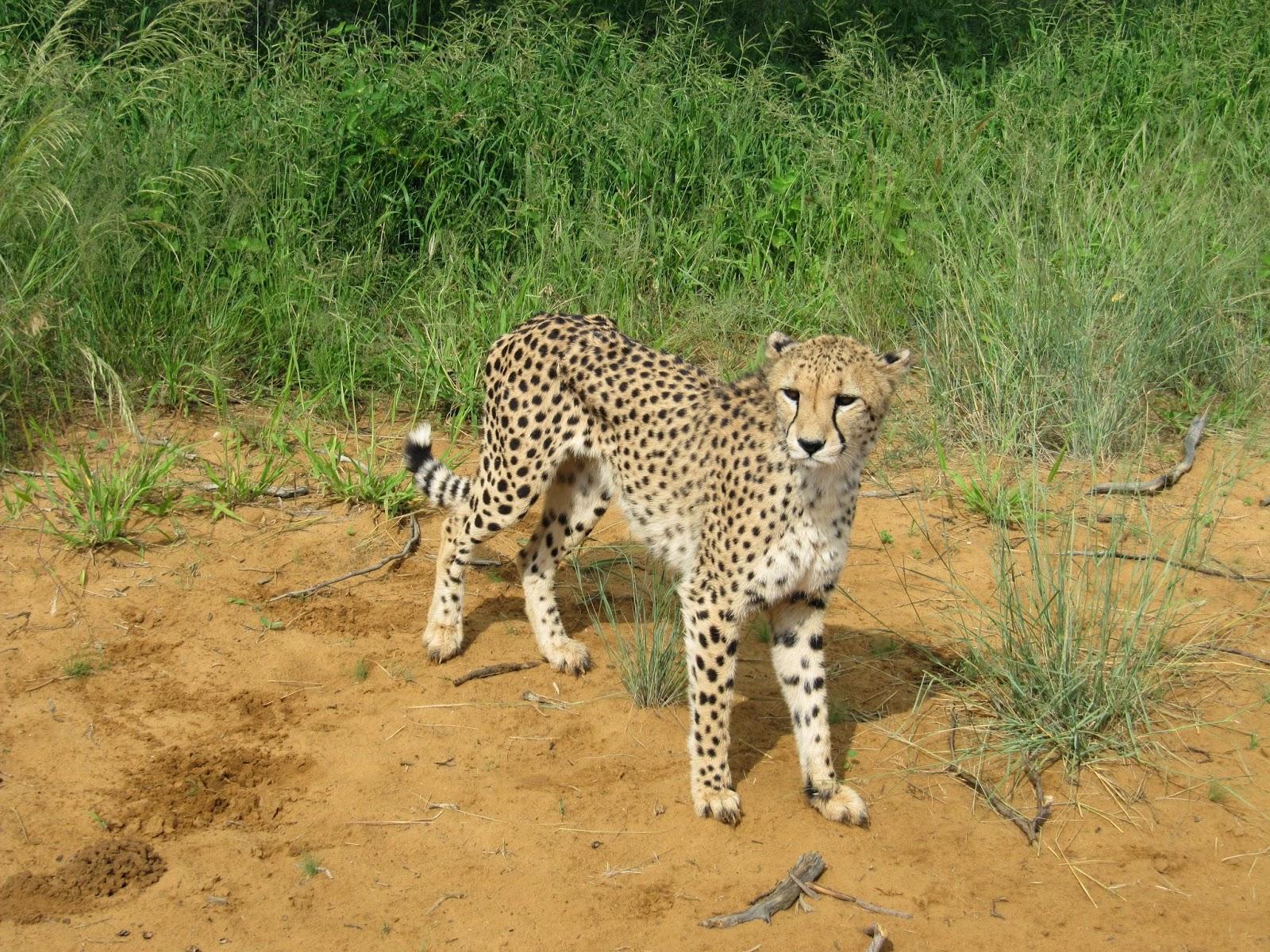 Cheetahs Namibia