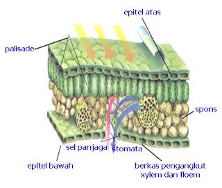 Jaringan pada akar, batang, dan daun tubuhan dan gambar