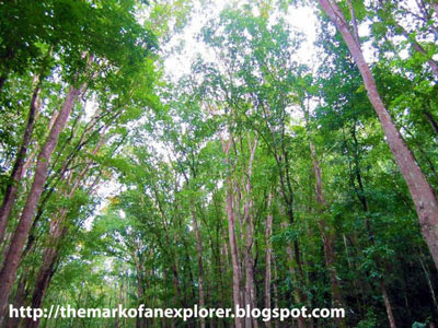 man made mahogany forest bohol
