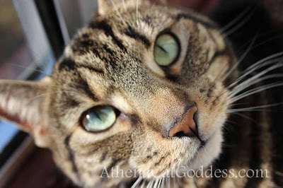 tabby cat looks like a tiger