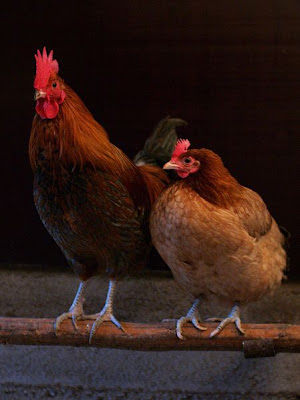 A cock and a hen roosting together, by Andrei Niemimäki via Wikimedia Commons - released under Creative Commons Attribution-Share Alike 2.0 Generic License