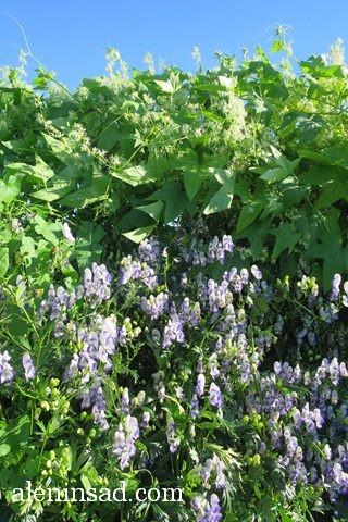 урожай, август, аленин сад, аконит, борец, бешеный огурец, колючеплодник, эхиноцистис лопастной, Echinocystis lobata