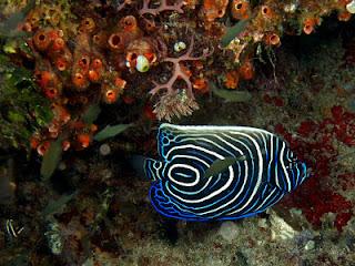 ikan hias indah : Juvenile Emporer Angel Fish