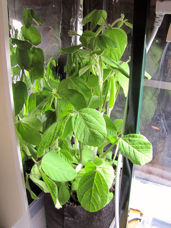 how to grow soybeans indoors