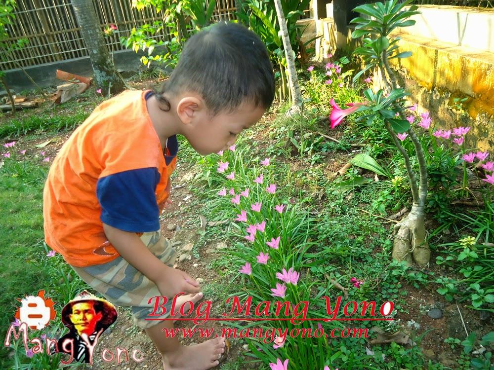 Musim hujan tiba Bunga Fairy lily ( Zepyranthes) berbunga kembali