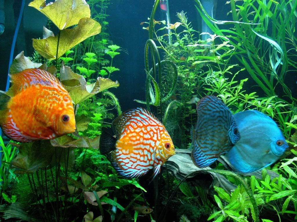 Discus the life of animals for Diskus aquarium