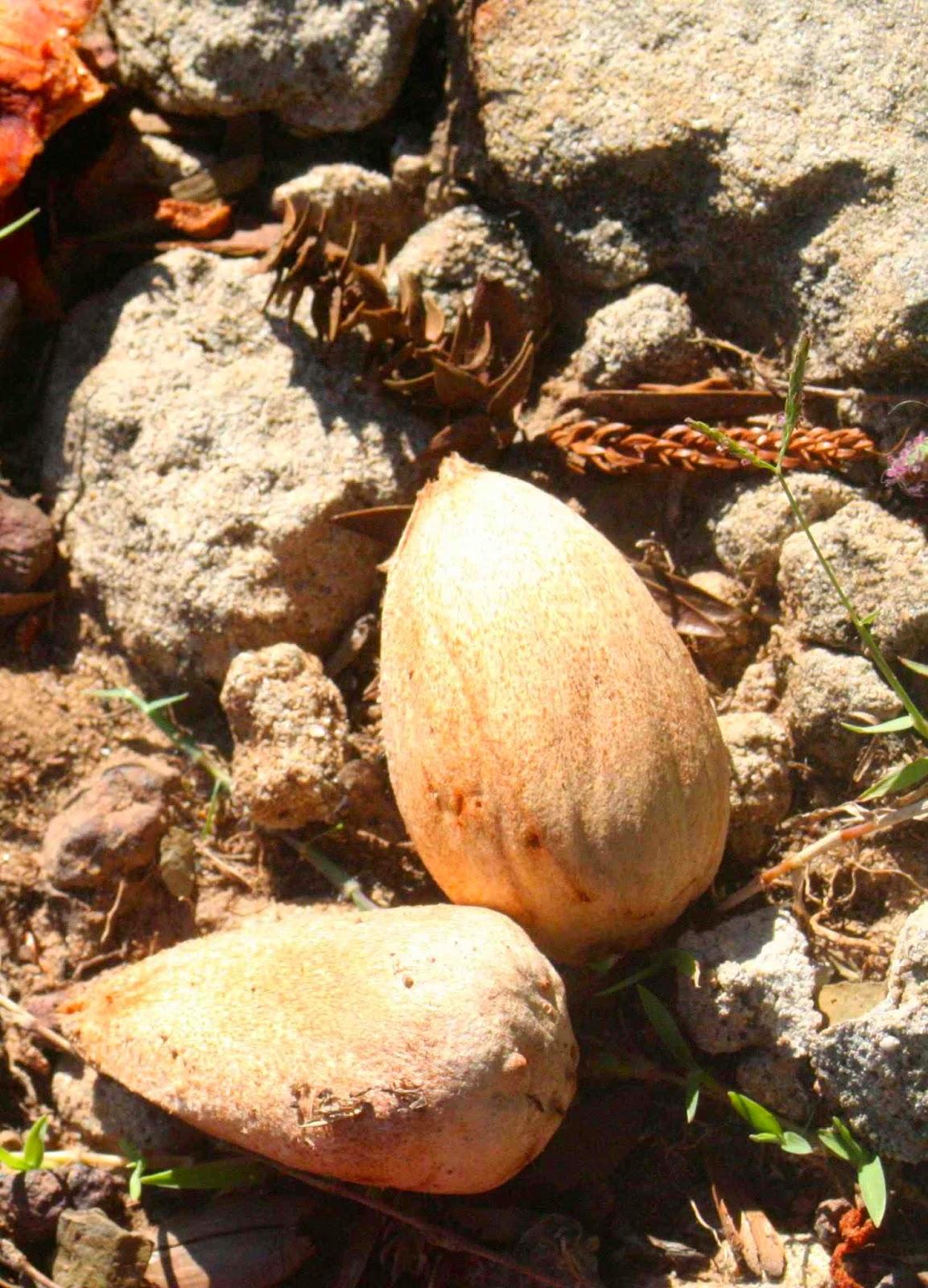 how to prepare bunya nuts