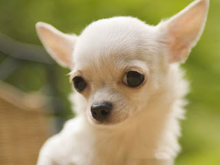 Chihuahua Care Handbook - The Ultimate Chihuahua Guide