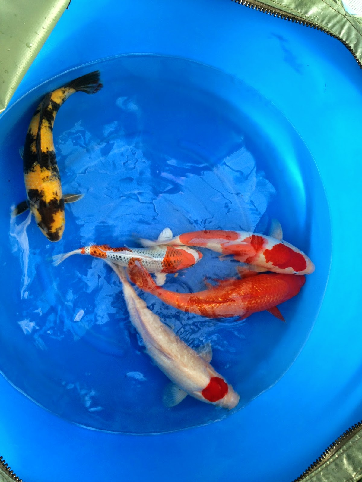 Happy koi blog japan trip 2014 special offer box 2 for Two koi fish