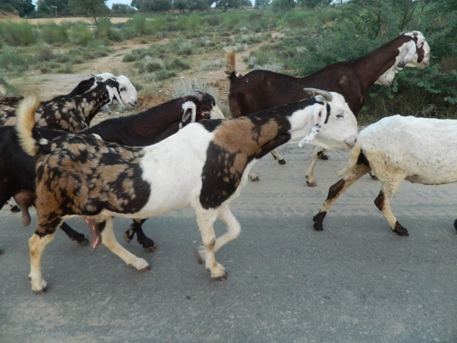 which goat breed i should select to start a goat farm
