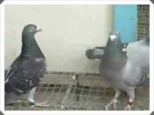 ternak burung merpati potong