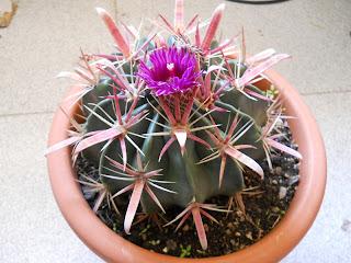 cactus lengua del diablo