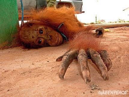 tráfico-orangutanes-Asia