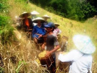 ladang berpindah / Shifting Cultivation