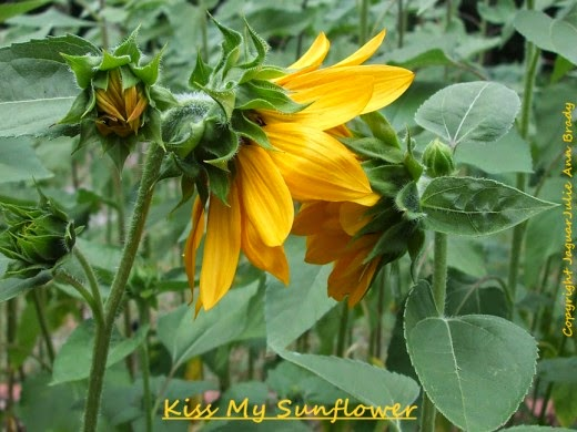 kiss my sunflower love 2014