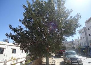 شجرة الخروب